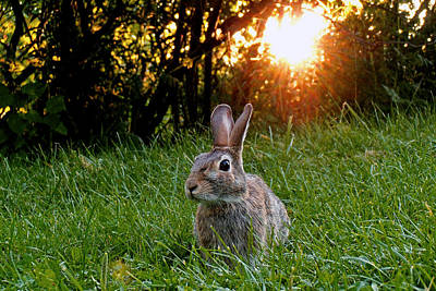 Rabbit Hunting Photograph - Rabbit's Sunset by Asbed Iskedjian
