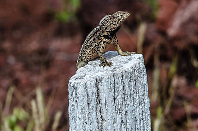 Photograph - Rabida Lava Lizard by Harry Strharsky