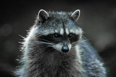 Photograph - Raccoon 2 by Jason Brooks