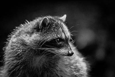 Photograph - Raccoon 3 by Jason Brooks