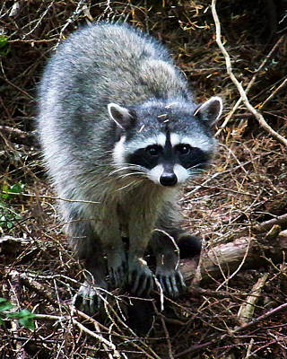 Photograph - Raccoon  by Anthony Jones