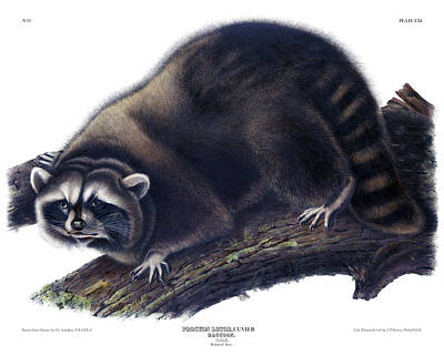Raccoon Drawing - Raccoon Antique Print Audubon Quadrupeds Of North America Plate 61 by Orchard Arts