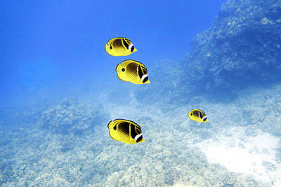 Underwater Photograph - Raccoon Butterfly Fish by Jim Murphy
