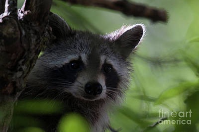 Photograph - Raccoon Closeup by Dale Powell