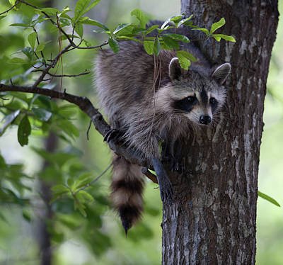 Photograph - Raccoon by Dale Powell