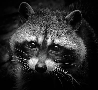 Photograph - Raccoon Face by Athena Mckinzie
