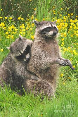 Photograph - Raccoon Horseplay by Frank Townsley