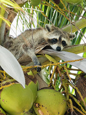Photograph - Raccoon In A Palm Tree On A Sunny Day by Bob Slitzan