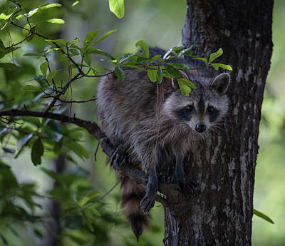 Photograph - Raccoon In A Tree by Dale Powell