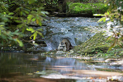Photograph - Raccoon In Stream by Dan Friend