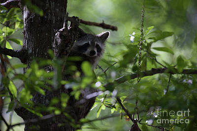 Photograph - Raccoon In Tree Middle Of Day by Dale Powell