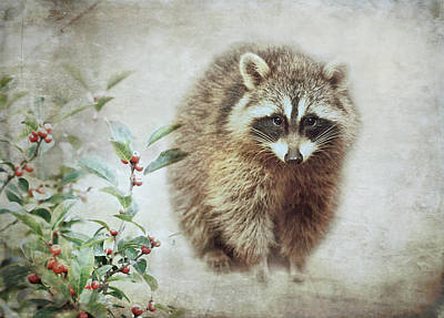Photograph - Raccoon In Winterberry by Susan Capuano