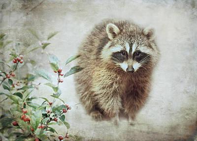 Raccoon Wall Art - Photograph - Raccoon In Winterberry by Susan Capuano
