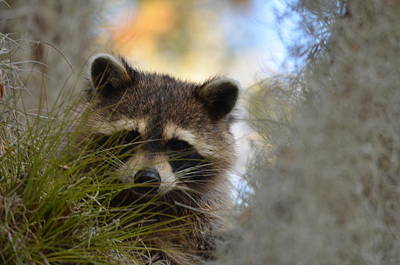Photograph - Raccoon by James Petersen