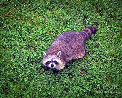 Winter Animals - Raccoon  by Kerri Farley