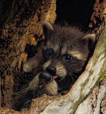 Wall Art - Photograph - Raccoon Kit Giving A Kiss To Mom by Martin Belan