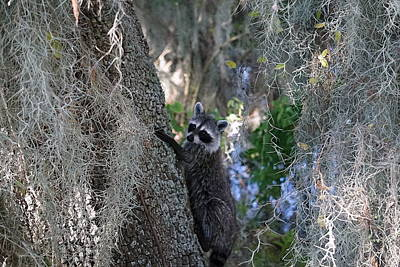 Photograph - Raccoon  by Laurie Perry