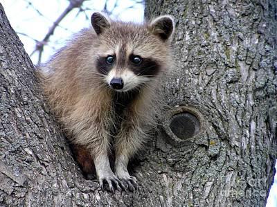 Raccoon Lookout Art Print