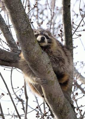 Afternoon Nap-raccoon Up A Tree  Art Print