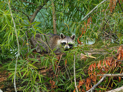Photograph - Raccoon Napping On Log by Paula Ponath