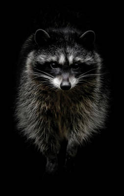 Photograph - Raccoon Night Crawler by Athena Mckinzie