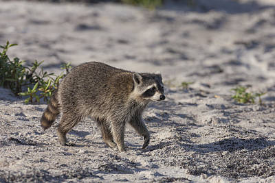 Photograph - Raccoon On The Beach by David Watkins
