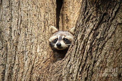 Photograph - Raccoon Peek by Charline Xia