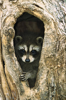 Cute Tree Images Photograph - Raccoon Procyon Lotor Baby Peering by Konrad Wothe