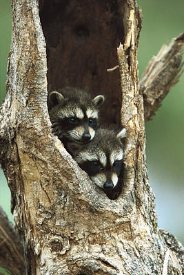 Cute Tree Images Photograph - Raccoon Procyon Lotor Two Babies by Konrad Wothe