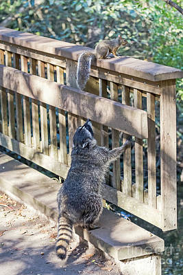 Photograph - Raccoon Shenanigans by Kate Brown