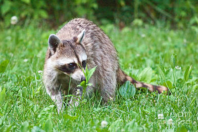Photograph - Raccoon Smelling Flowers by Jeannette Hunt