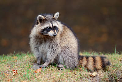 Photograph - Raccoon  by Songquan Deng