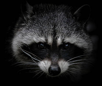 Photograph - Raccoon Whiskers by Athena Mckinzie