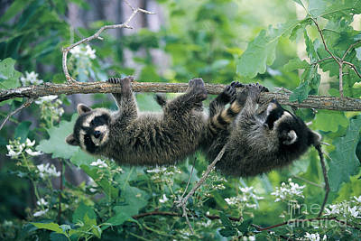 Photograph - Raccoons by Alan and Sandy Carey