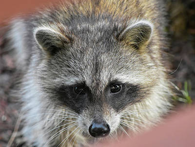 Photograph - Raccoon's Gorgeous Face by William Tasker
