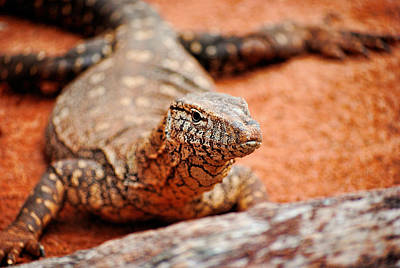 Photograph - Racehorse Goanna by Michelle Wrighton