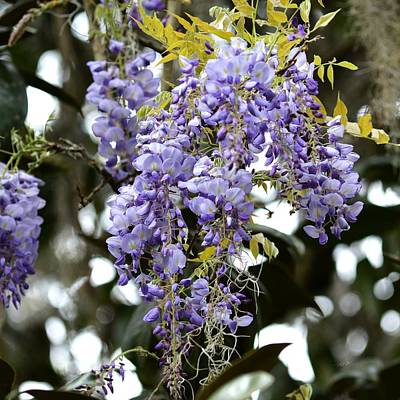 Photograph - Racemes Of Wisteria - Wisteria Sinensis by rd Erickson