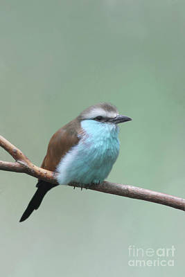 Photograph - Racket-tailed Roller V2 by Judy Whitton