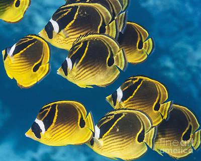 Hawaii State Fish Photograph - Racoon Butterflyfish  Chaetodon Lunula by Thomas Kline