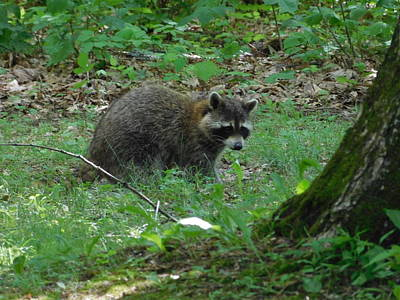 Photograph - Racoon by Catherine Gagne
