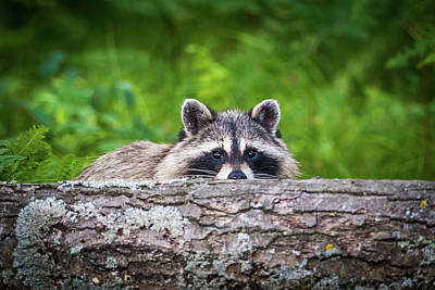 Photograph - Racoon Hiding by Paul Freidlund