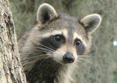 Photograph - Racoon by T Guy Spencer