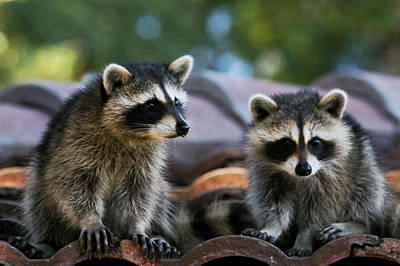 Photograph - Racoons On The Roof by Dorothy Cunningham