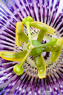Passion Fruit Photograph - Radial Arms  by Christopher Holmes