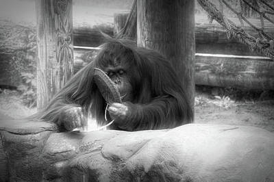 Photograph - Radiant Black And White Orangutan by Aimee L Maher Photography and Art Visit ALMGallerydotcom