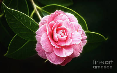 Photograph - Radiant Camellia by Cameron Wood