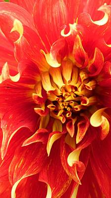 Photograph - Radiant Dahlia by Michael Hope