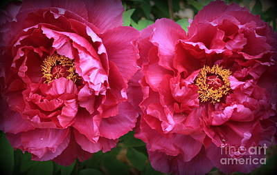 Photograph - Radiant In Magenta - Peonies by Dora Sofia Caputo Photographic Art and Design