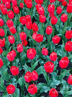 Photograph - Radiant Red Tulips  by Patricia E Sundik