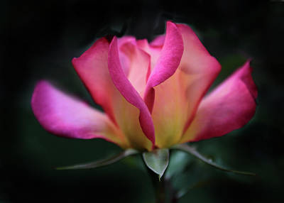 Photograph - Radiant Rose by Jessica Jenney